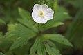 Anemone quinquefolia1GJWO.jpg