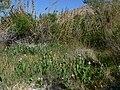 Anemopsis californica 7.jpg
