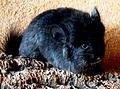 Angora RPAT Ebony-chinchillas-in-nrw.de.jpg