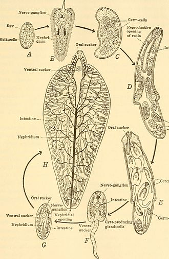 Fasciola hepatica - Diagram of the main organ systems of F. hepatica throughout the progressive life stages of the fluke (1938). A - egg; B - miracidium; C - sporocyst; D - rediae, E - immature cercaria, F - cercaria, G - encysted stage, H - adult fluke (nervous and reproductive systems omitted)