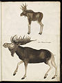 Animal drawings collected by Felix Platter, p2 - (69).jpg