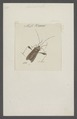 Anisoscelis - Print - Iconographia Zoologica - Special Collections University of Amsterdam - UBAINV0274 040 05 0002.tif