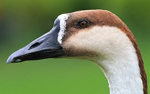 Swan goose - The close-up of head