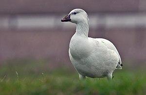 Ross's goose - Juvenile Ross's goose in California, USA
