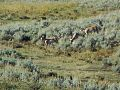 Antelope Yellowstone.jpg