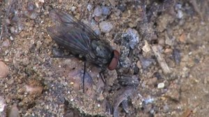 File:Anthomyiidae sp - 2012-10-21.webm
