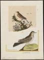 Anthus spinoletta - 1700-1880 - Print - Iconographia Zoologica - Special Collections University of Amsterdam - UBA01 IZ16300183.tif