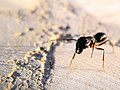 Ants of iran مورچه های ایرانی- عکس نمای نزدیک- ماکرو 03.jpg