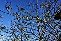 Apfelbaum - Streuobstwiese.jpg