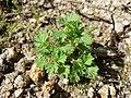 Aphanes australis sl15.jpg