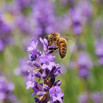 English: Apis mellifera & Lavandula angust...