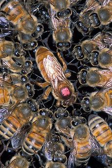 Lebah pekerja mengelilingi lebah ratu.