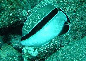 Schwarzbinden-Rauchkaiserfisch (Apolemichthys arcuatus)