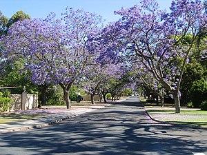 Applecross, Western Australia - Jacarandas in bloom