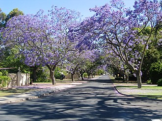 Applecross, Western Australia - Jacarandas in bloom