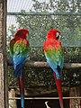 Ara chloropterus -Attica Zoological Park, Spata, Greece -two-8a.jpg