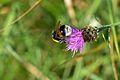 Araignées, insectes et fleurs de la forêt de Moulière (Les Chirons Noirs) (29010752156).jpg
