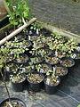 Aralia apiifolia (17125729047).jpg