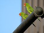 Aratinga erythrogenys -San Francisco -feral parrots on traffic light-8.jpg
