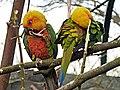 Aratinga jandaya (Tierpark Berlin) - 1019-901-(118).jpg