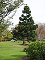 Araucaria cunninghamii cunninghamii Mudie (AM AK257597).jpg