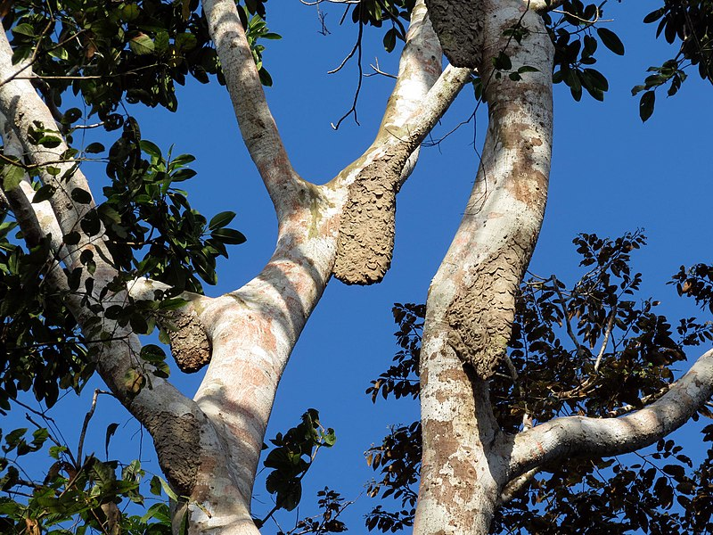 File:Arboreal Nests - Flickr - treegrow.jpg
