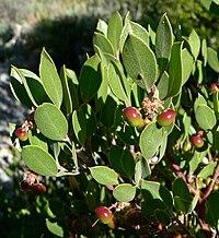 Arctostaphylos pungens 4.jpg