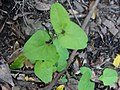 Aristolochia paucinervis.001 - Monfrague.jpg