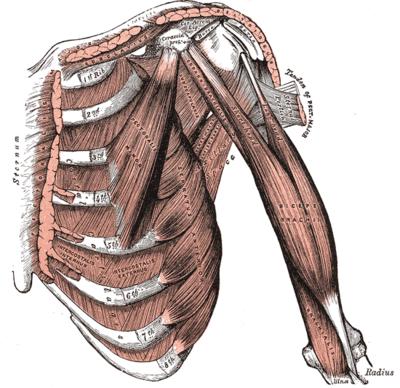 Topographische Anatomie: Vorderwand: Thorax – Wikibooks, Sammlung ...