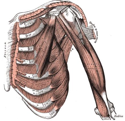 Musculus biceps brachii - Wikiwand