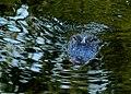 Armand Bayou Nature Center -- Alligator.jpg