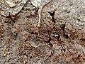 Army Ants (Dorylus sp.) (6933111738).jpg