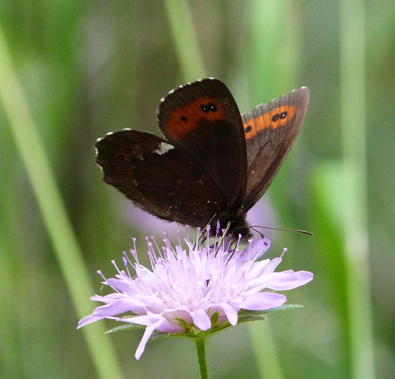 File:Arran Brown. u. s. Female Erebia ligea (16204188445).jpg ...