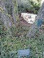Arrigo Beccari tree.jpg