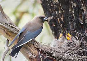 Allofeeding - Dusky woodswallow (Artamus cyanopterus) parent feeding a wasp to chicks