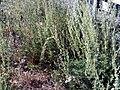 Artemisia alba ssp nevadensis Habitus2.jpg