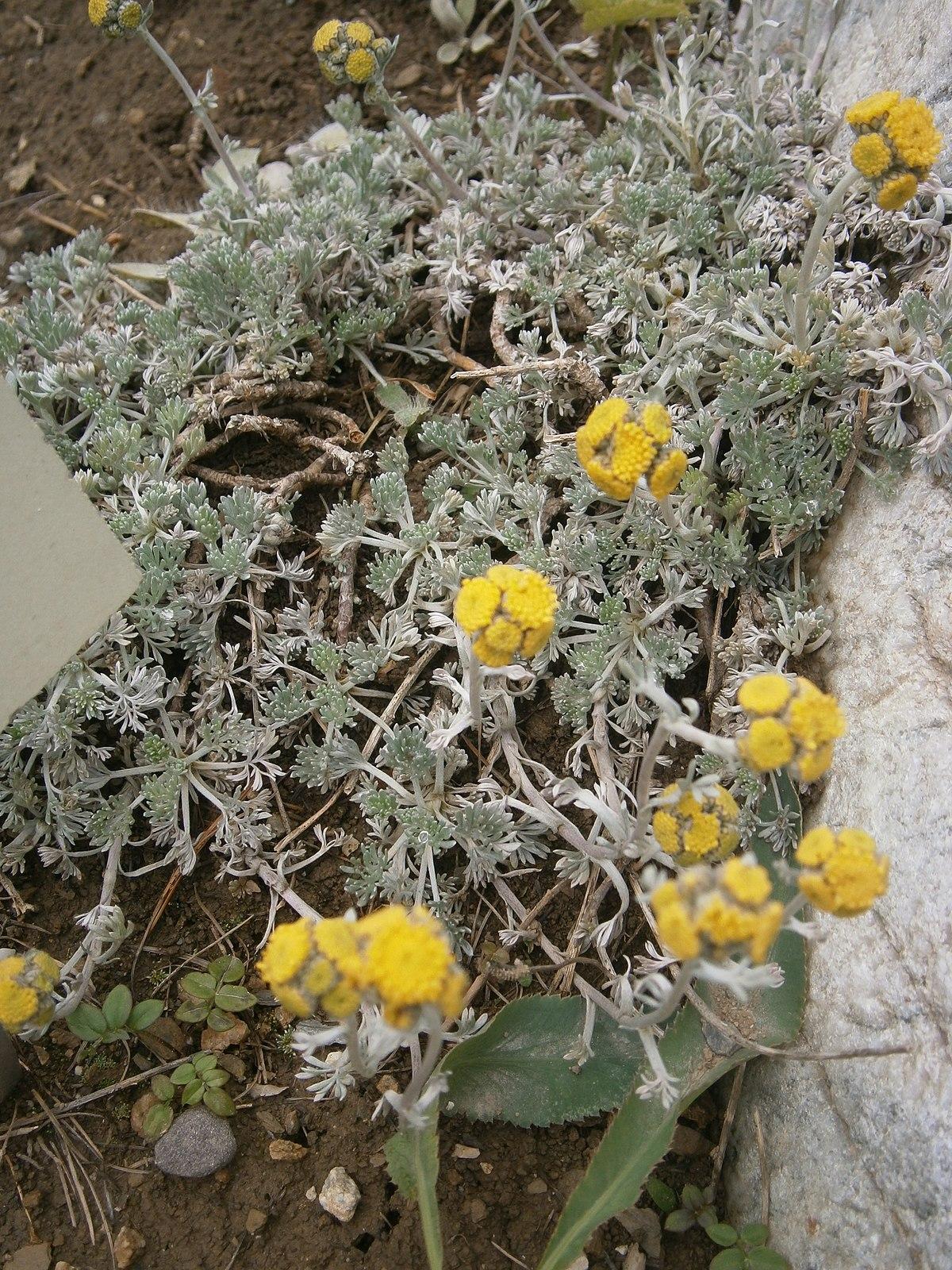 Artemisia glacialis - Wikispecies