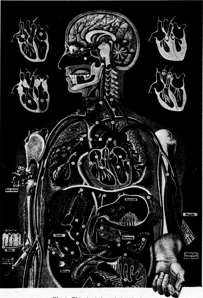 Heart Blood Flow Chart: Arthur and Fritz Kahn Collection 1889-1932 (19715204944).jpg ,Chart
