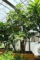 Artocarpus altilis (Artocarpus communis) - Fruit and Spice Park - Homestead, Florida - DSC09082.jpg