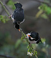 Asian Pied Starling (Sturnus contra) in display at Kolkata on Kapok (Ceiba pentandra) I IMG 2603.jpg