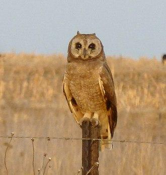 Marsh owl - Image: Asio capensis, Tweeling, a