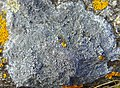 Aspicilia caesiocinerea Beniget 1.jpg