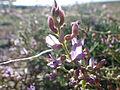 Astragalus gracilis (7163924875).jpg