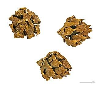 Athrotaxis - A. selaginoides seed cones.