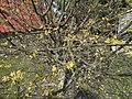 Atlas roslin pl Dereń jadalny 2 6756.jpg