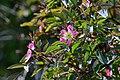 Atlas roslin pl Róża czerwonawa 5236 7785.jpg