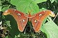 Attacus atlas - Atlas moth - at Peravoor (24).jpg