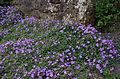 Aubrieta deltoidea Argentea variegata.jpg