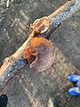 Auricularia auricula-judae 113689937.jpg