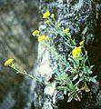 Aurinia saxatilis.jpg
